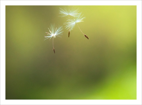 """Dandelion Seeds in Air"" by Rosanne Haaland on Flickr"