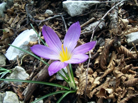 "From the decay... ""Spring Crocus"" by Swallowtail Garden Seeds on Flickr"